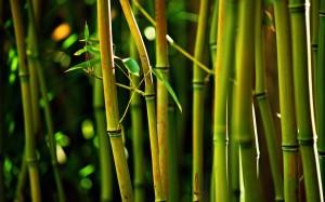 bamboo-tree-1050x1680-300x187