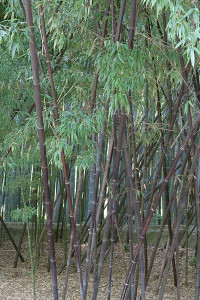 Black Bamboo Removal